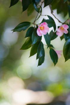 TSUBAKI ♥ ♡༺✿ ☾♡ ♥ ♫ La-la-la Bonne vie ♪ ♥❀ ♢♦ ♡ ❊ ** Have a Nice Day! ** ❊ ღ‿ ❀♥ ~ Mon 1st June 2015 ~ ❤♡༻ ☆༺❀ .•` ✿⊱ ♡༻ ღ☀ᴀ ρᴇᴀcᴇғυʟ ρᴀʀᴀᴅısᴇ¸.•` ✿⊱╮ ♡ ❊ Little Flowers, My Flower, Flower Crown, Flower Art, Pink Flowers, Amazing Flowers, Pretty Flowers, Beautiful Flowers Wallpapers, Flower Landscape