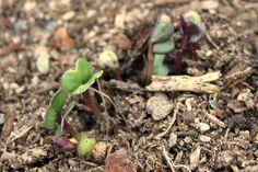 How to Thin Seedlings by onehundredollarsamonth #Gardening #Seedlings
