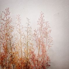 Macleaya cordata seedheads. Copper, peach perfection for late summer bouquets.