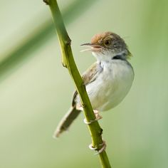Common Tailorbird - Orthotomus sutorius, Thailand. SYLVIIDAE Tailorbirds have short rounded wings, short tails, strong legs and long curved bills. The tail is typically held upright, like a wren. They are typically found in open woodland, scrub and gardens. Tailorbirds get their name from the way their nest is constructed. The edges of a large leaf are pierced and sewn together with plant fibre or spider's web to make a cradle in which the actual grass nest is built.