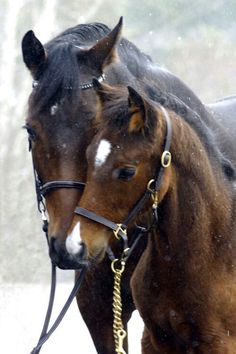 horses in the snow. Mother and child, cute, nuttet, adorable, caring, cuddling, photo.