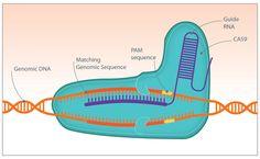 Distinguishing SNPs with CRISPR/Cas