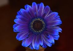 New Age Gerber Daisy Photo by Suzana Trunda — National Geographic Your Shot