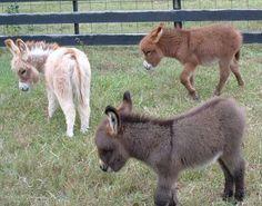 All colors.     Courtesy: Satroma Ranch Miniature Donkeys, Texas (USA).
