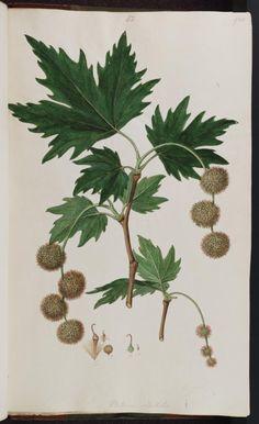 141964 Platanus orientalis L. / Sibthrop, J., Smith, J. Tree Leaves, Plant Leaves, London Plane Tree, Leaf Drawing, Botanical Illustration, Art Reference, Oriental, Drawings, Flowers