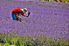 Keys Creek Lavender Farm near Temecula, California