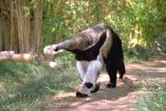 Anteater is the common name given for the four mammal species that belong to the vermalingua suborder. Vermalingua means tongue and these mammals feed on ants Amazon Rainforest Animals, Amazon Animals, Work With Animals, Animals And Pets, Cute Animals, Strange Animals, Animal Spirit Guides, Spirit Animal, Giant Anteater