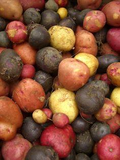 Alte Kartoffelsorten - Raritätenkartoffel - Erdäpfelraritäten