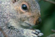 Grey squirrels feeding