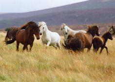 Dartmoor Ponies 5 - DARTMOOR PHOTOS