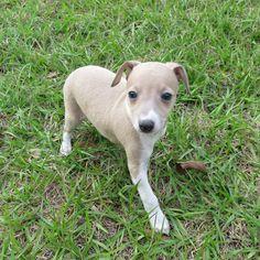 Lola- Baby italian greyhound (six weeks)
