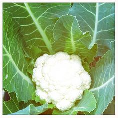 kukkakaali, cauliflower