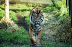 London Zoo Sumatran tiger Melati killed in fight - BBC News Wild Tiger, Tiger Cub, Big Cats, Cute Cats, Tiger Facts, Tiger Love, Image Caption, Endangered Species, Habitats
