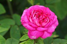 Rosa 'de la Maitre d'École'