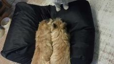 Cairn terrier playing in bed. Alina, Dockan and Totte - 3