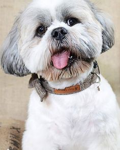 Tony aka Sir Anthony Clive is a 3 year old male #ShihTzu. Tony is basically a teddy bear #Ewok he is so comical people just laugh at him constantly he has one eye different to the other & his tongue is permanently out .He has teeth like a witch doctors necklace but is the softest kindest #dog ever. Tony loves everyone & everything especially children & he has to kiss every dog he meets. You cannot help but fall in love with him. He has all basic commands & will sit stay come wait leave it…