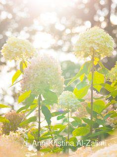 Ann-Kristina Al-Zalimi, Hydrangea, hortensia, flora, garden, flower, autumn, syyshortensia