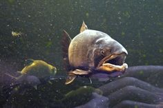 Finland, Wildlife, Fish, Sea, Photography, Animals, Atlantic Salmon, Psalms, Pet Dogs