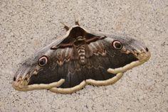 De grote nachtpauwoog (Saturnia pyri). De spanwijdte varieert tussen de 120 en 150 millimeter en daarmee is het de grootste nachtvlinder van Europa. In Nederland en België wordt de vlinder alleen als dwaalgast waargenomen. De vliegtijd is van april tot en met juni.
