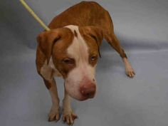 NO ONE CAME TO HELP!! I'M TOTALLY IN TEARS SILENT MURDER 12/14/16 HOW COULD WE FAIL THIS POOR SICK BOY?  NEEDS IMMEDIATE VET CARE!! SUPER URGENT Manhattan center JIMMY – A1099332 **NEEDS TO GO TO A VET** MALE, TAN / WHITE, AM PIT BULL TER MIX, 5 yrs STRAY – STRAY WAIT, NO HOLD Reason STRAY Intake condition UNSPECIFIE Intake Date 12/10/2016, From NY 10471, DueOut Date 12/13/2016,
