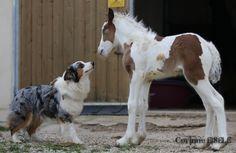 irish cob, gypsy cob, gypsy vanner, cheval, chevaux, horse & Australian Shepherd