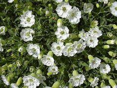 Silene uniflora (maritima)