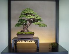 Stunning is the only word I can think of when describing this classic pine. Found at ぼんさいや「あべ」#bonsai