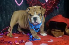 Tex is on hold and will be heading to New York soon!!!!!  We do have puppies available 606-524-5758!