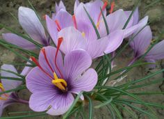 Crocus Flower Saffron saffron seeds,saffron flower seeds,saffron crocus seeds,it