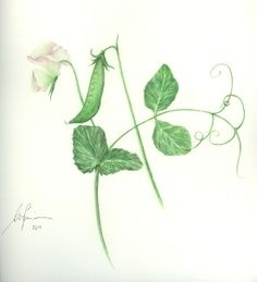 Beatrix Potter Botanical Drawings | Presentation on the Art of Botanical Illustration. Snap Peas.