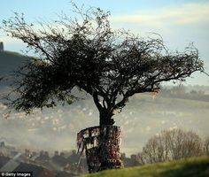The Holy Hawthorne tree in all its glory before it was hacked apart. Legend says it sprang from the staff of Joseph of Arimathea, the man who helped Jesus off the cross. To the right of the tree, in the distance, is Glastonbury Tor.  This is a 2000 year old piece of history that others will never see.  It's unfortunate that some misguided souls took it away.