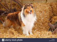 rough-collie-male-3-years-schottischer-schaeferhund-ruede-3-jahre-DC5N9R.jpg (1300×956)