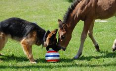 according to the poster: This foal was abandoned by his mother so he had to be brought up by his owner. The owner's dog and the foal immediately became bffs and the foal actually started behaving more like a dog than a horse.   btw- of course it's a german shepherd. no other dog would do =)