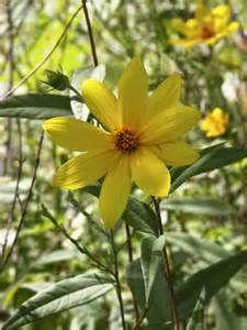 Helianthus divericatus a woodland shade tolerant sunflower Fast spreading, a great bird plant