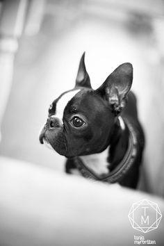 Find Out More On Friendly Boston Terrier Dogs Temperament Terrier Breeds, Terrier Puppies, Pitbull Terrier, Dog Breeds, Boston Terriers, Boston Terrier Love, Cute Puppies, Cute Dogs, Dogs And Puppies