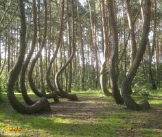 Located in north-western Poland, the Crooked Forest is a grove of around 400 oddly-shaped pine trees. Whilst it's generally believed that some form of human tool or technique was used to make the trees grow this way, the method and motive remain unknown...  Photo: Asbb