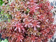SMG Succulents- The ultimate hardy succulent source, including Sedum, Sempervivum, and Jovibarba. Alpine Garden, Drought Tolerant Plants, Plant Nursery, Echeveria, Succulents, Cacti, Outdoor Spaces, Gardens, Album