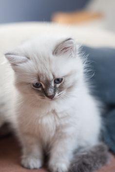 This is a little girl her name is Kreska - kitten neva masquerade blue tabby 2 - month - old