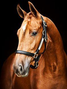 Horses – Welcome to Cavalli - DİY Cute Horses, Pretty Horses, Horse Love, Horse Photos, Horse Pictures, Beautiful Creatures, Animals Beautiful, Most Beautiful Horses, Chestnut Horse