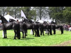 Be sure to watch this 4 minute video from the Netherlands showcasing this noble breed.  It's a dream come true for me to have two of them on my farm; they are unlike any other horse I have ever been around.  video via The KFPS Royal Friesian Horse  #Friesians #Friesianhorse
