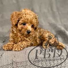 Toy Poodle Puppies, Toy Poodles, Teddy Bear, Toys, Animals, Design, Activity Toys, Animales, Animaux