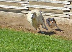 Corgi herding Collie, Beautiful Dogs, Animals Beautiful, Corgi Mix, Cardigan Welsh Corgi, Out Of My Mind, Little People, Sheep, Puppies