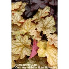 Heuchera 'Ginger Ale' is a particularly attractive variety of Coral Bells with its unusual foliage of lobed, rounded, long-petioled, soft ginger ale leaves with a silver sheen, dark veins and amber-coral undersides. Shade Garden, Garden Plants, Garden Art, Garden Design, Dahlia, Coral Bells Heuchera, Ginger Plant, Monrovia Plants, Plant Catalogs