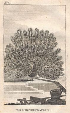 The Crested Peacock.   Antique engraving of a Peacock. circa 1790