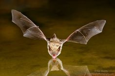 Drinking Bat by Alan Murphy - Photo 8325224 - 500px