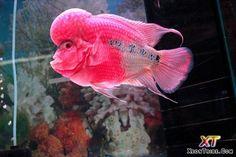 Peixe Colorido Rosa