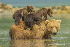 Baby animals and their moms - REX/Jon Langeland/Solent News Nature Animals, Animals And Pets, Baby Animals, Funny Animals, Cute Animals, Wildlife Nature, Beautiful Creatures, Animals Beautiful, Mother Bears
