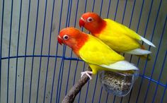 Lovebird Lutino (Budidayaperawatan.blogspot.com) Love Birds Pet, Cute Birds, Pretty Birds, Beautiful Birds, African Lovebirds, Melanism, Parrot Bird, Budgies, Parakeet
