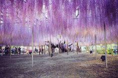 cel mai frumos copac din lume