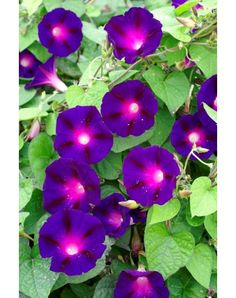 morning glory--Knowlians black--The strong, long vines carry good-sized blooms that are deep violet with a cerise star. A very dark morning glory. Morning Glory Tattoo, Morning Glory Vine, Morning Glory Flowers, Morning Glories, Exotic Flowers, Amazing Flowers, Purple Flowers, Beautiful Flowers, Purple Garden